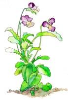 タチツボスミレ(Viola grypoceras A. Gray)