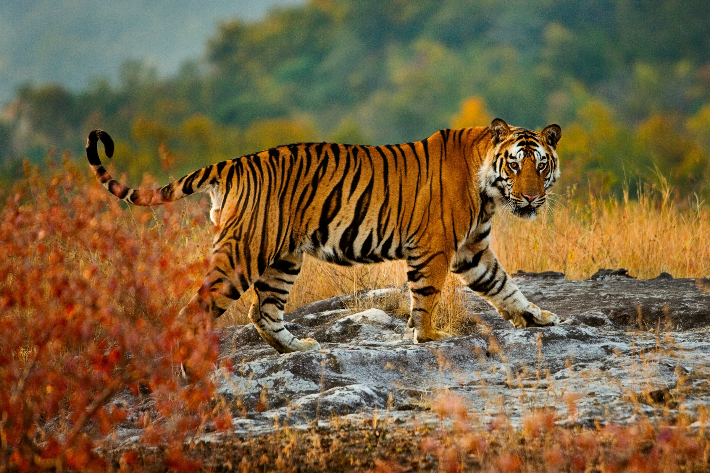 Bengal Tigers From National Geographic Bengal Tiger Research Bengal Tiger Bandhavgarh National Park Madhya Pradesh