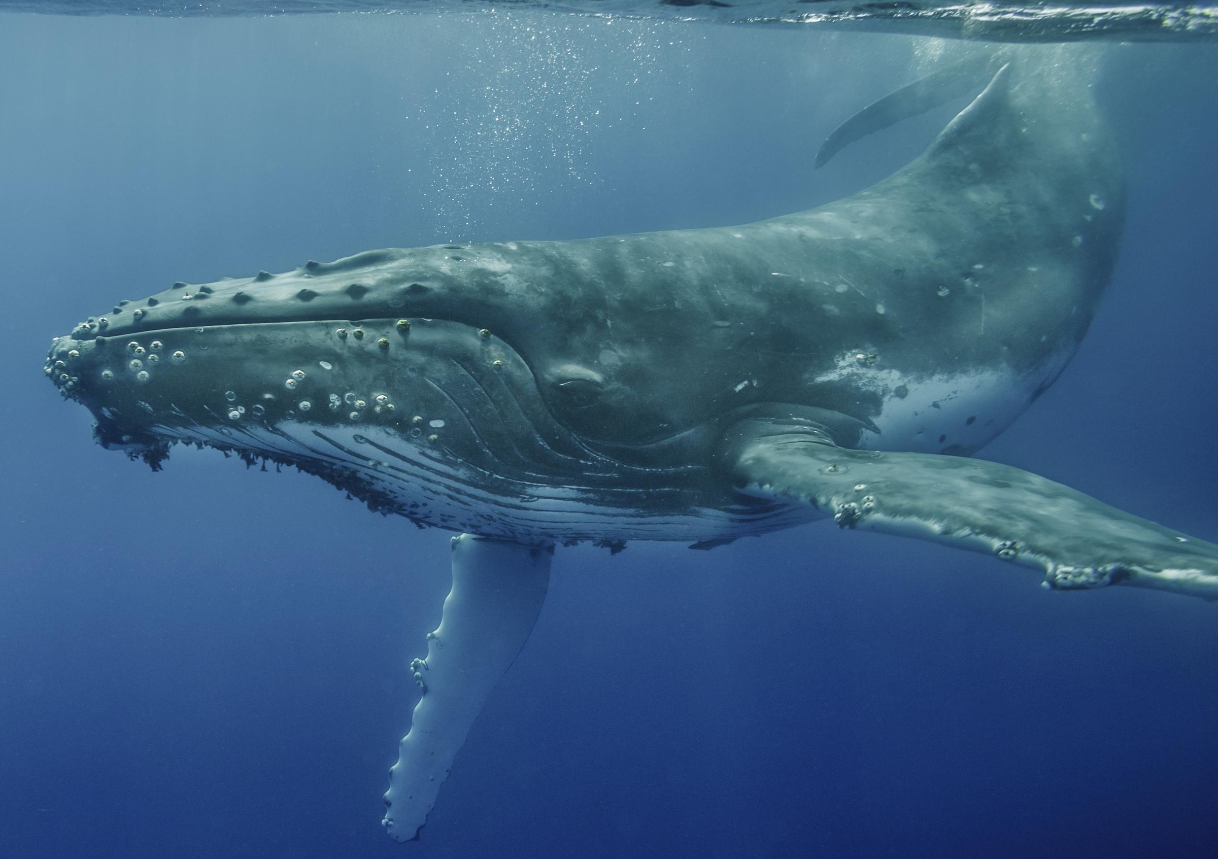 3d Dice Desktop Wallpaper Humpback Whale Vava U Tonga Art Wolfe