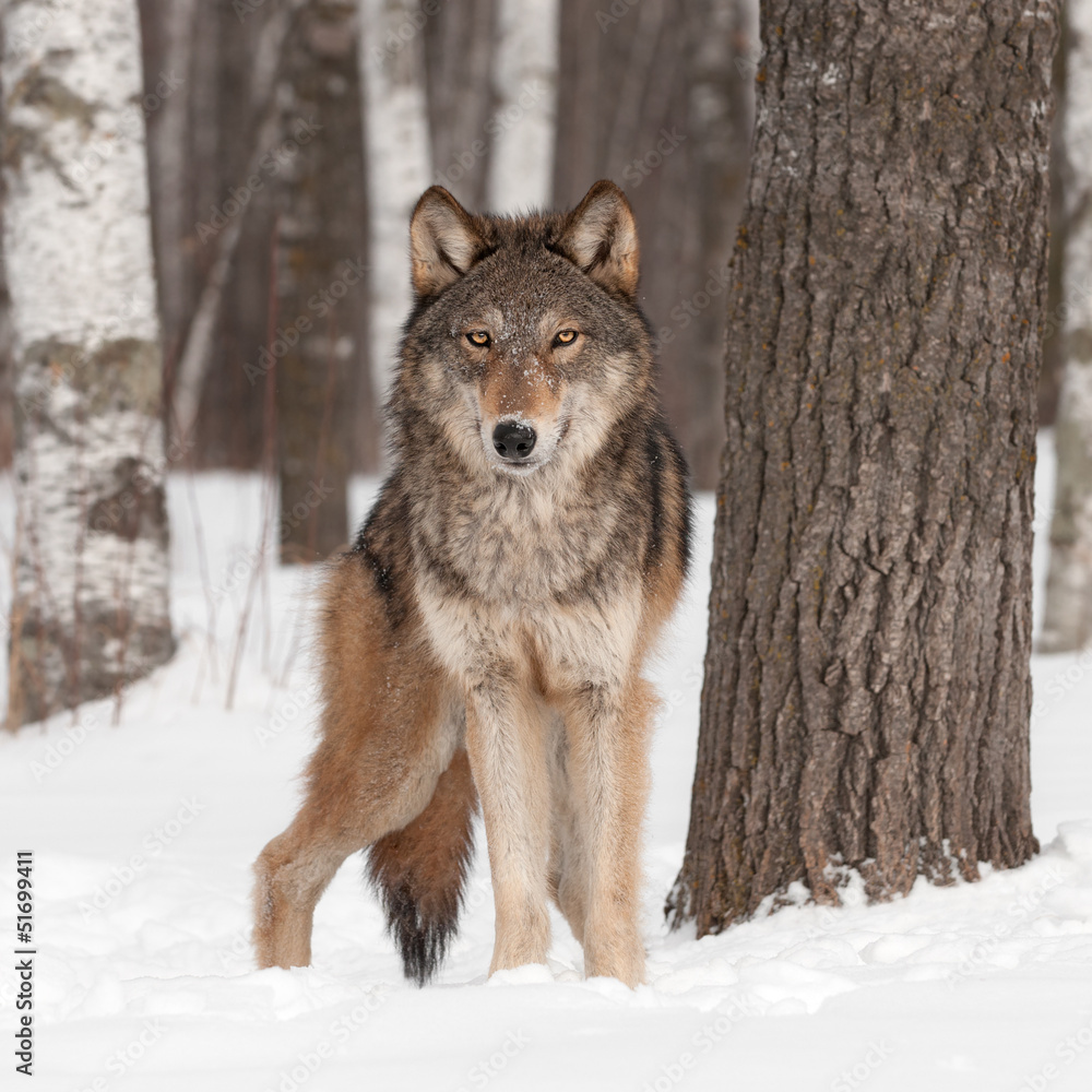 Fototapete Wolf Grey Wolf Canis Lupus Looks Forward Foto Poster
