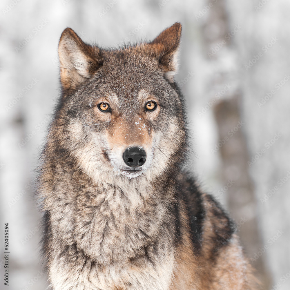 Fototapete Wolf Grey Wolf Canis Lupus With One Ear Back Foto Poster