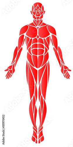 Muscles A vector diagram of the major muscles found in the body