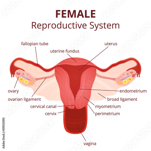female reproductive system - Buy this stock vector and explore