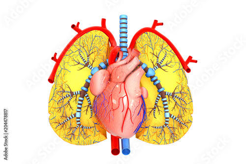 Human heart and lungs - Buy this stock illustration and explore