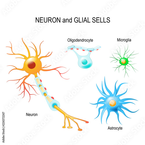 Cells of human\u0027s brain Neuron and glial cells (Microglia, astrocyte