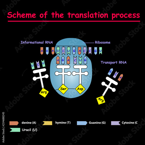 Scheme of the translation process syntesis of mRNA from DNA in the