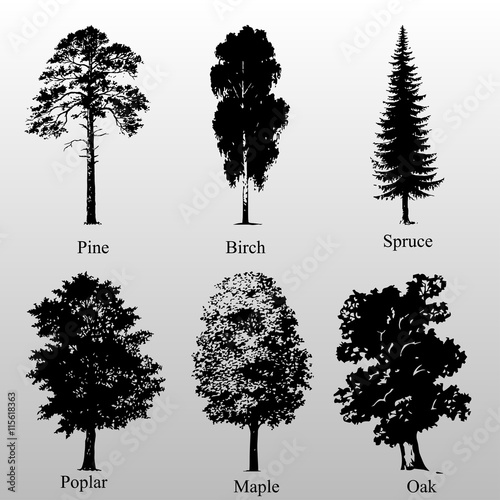 birch pine oak spruce poplar maple - Buy this stock vector and