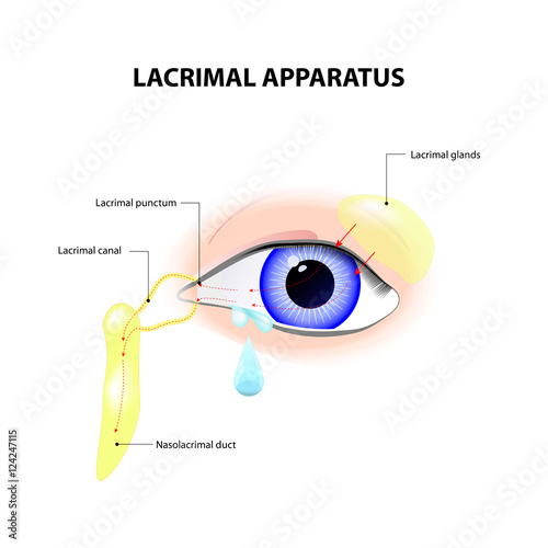 Lacrimal Apparatus - Buy this stock vector and explore similar
