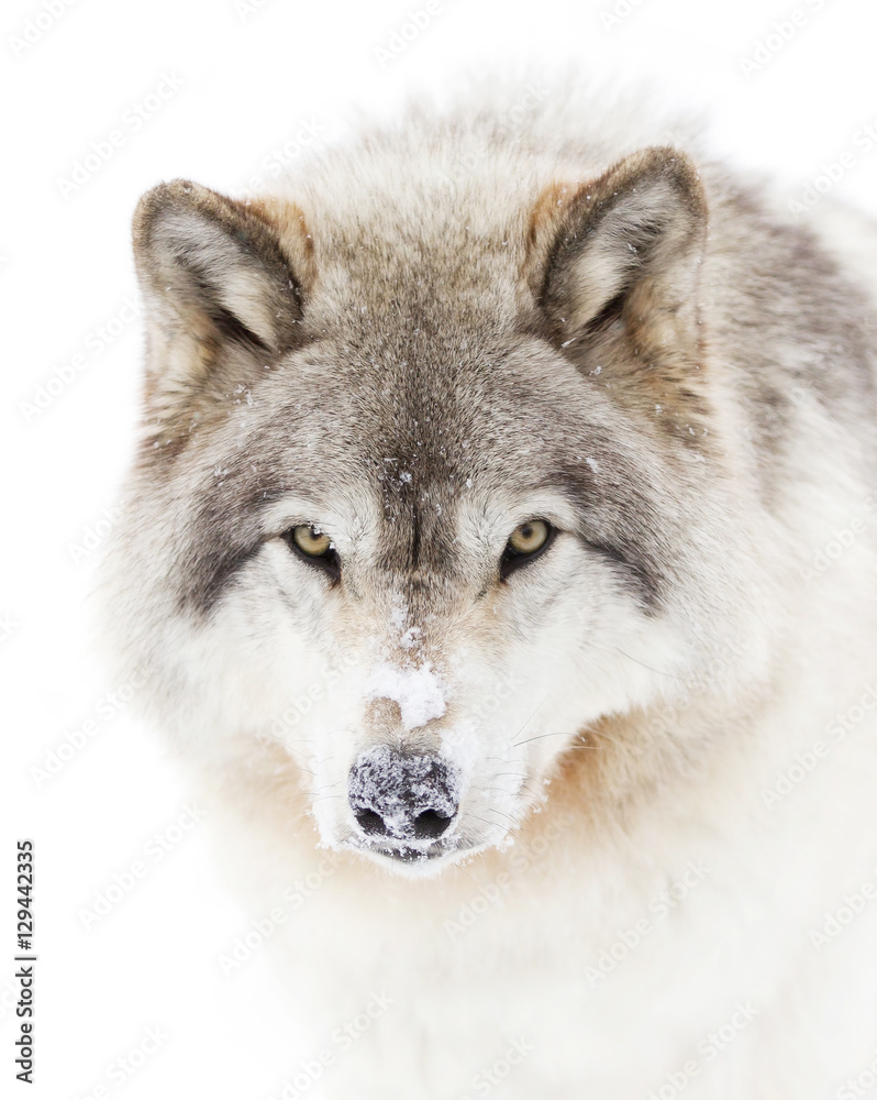 Fototapete Wolf Timber Wolf Or Grey Wolf Canis Lupus Isolated On White