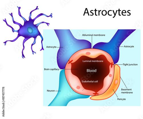 Astrocytes Schematic diagram of the neurogliovascular unit Types