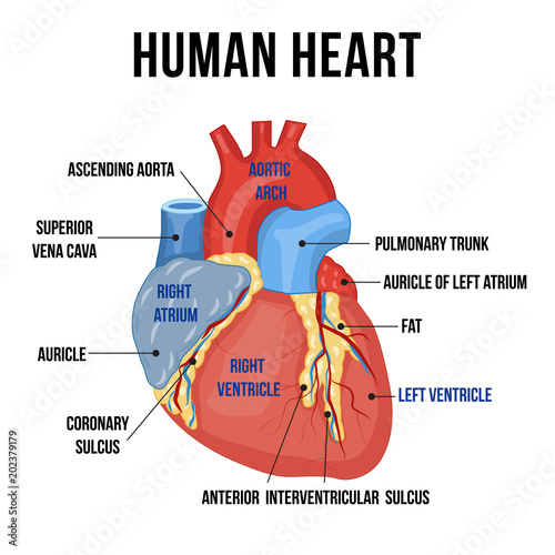 Colorful anatomy of human heart with descriptions of it\u0027s parts
