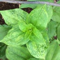 Zinnia: Cucumber mosaic virus