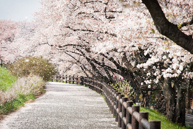 Falling Cherry Blossoms Wallpaper Photo Of The Day A Rain Of Cherry Blossoms In Japan