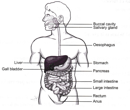 Draw a labelled diagram of the digestive system Identify the