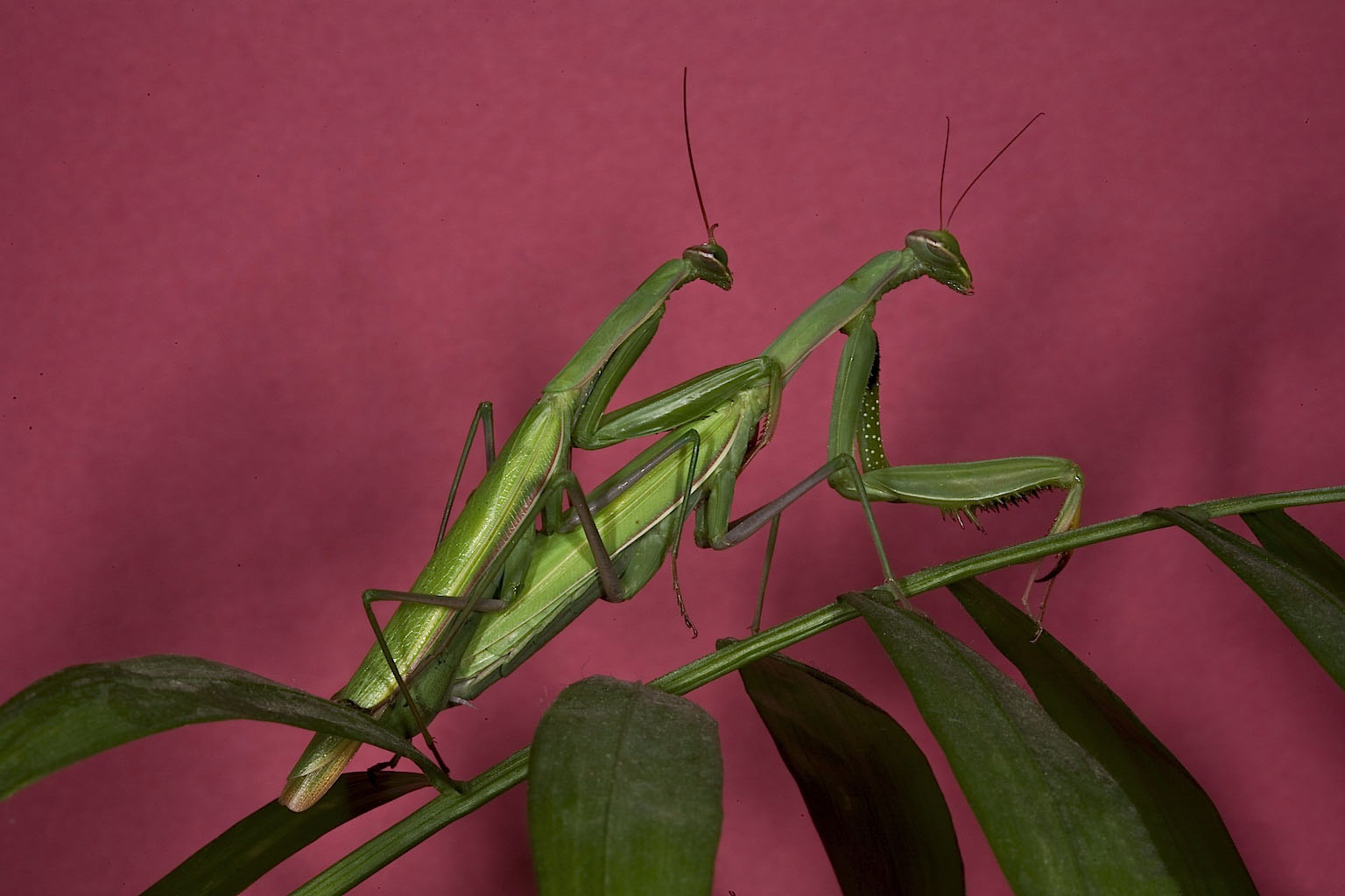 Apareandose Mantids And Cannibalism A Surprisingly Complicated Affair