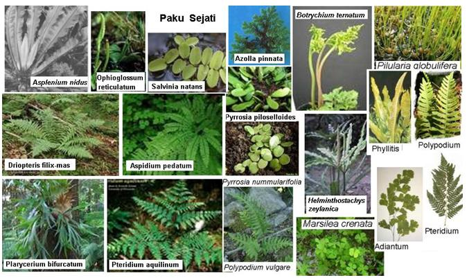 Macam Macam Lumut Dan Gambar Mowilex >>>> Sentra Multiwarna Tumbuhan Paku Pteridophyta Bio Green