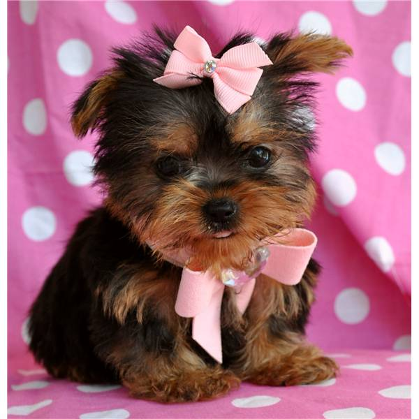 Newborn Baby Yorkies Baby Face Teacup Yorkie Puppies For Free Adoption