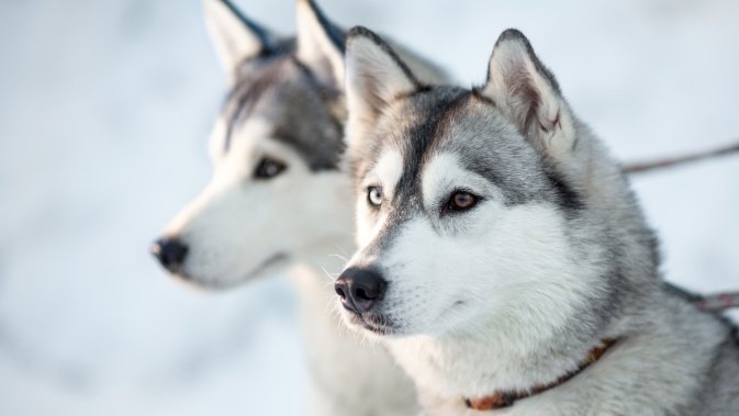 I Quit Wallpaper Hd Petition 183 Stop Abuse Of Greenland Sled Dogs 183 Change Org