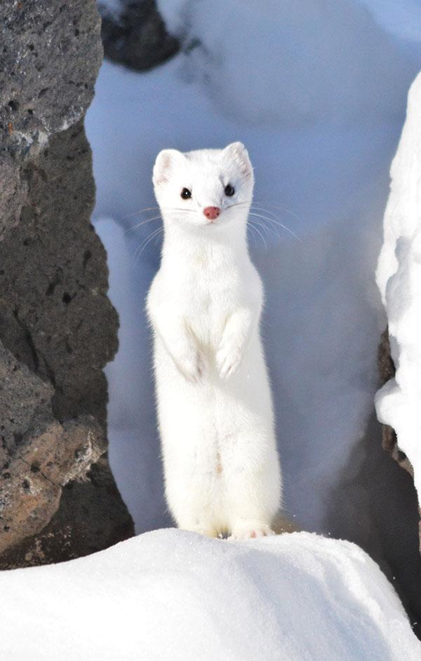 Universal Animal Wallpaper Secret Life Of The Long Tailed Weasel East Idaho News