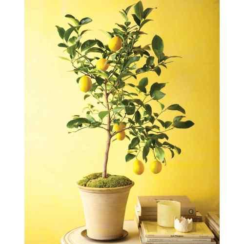 Medium Crop Of Dwarf Orange Tree