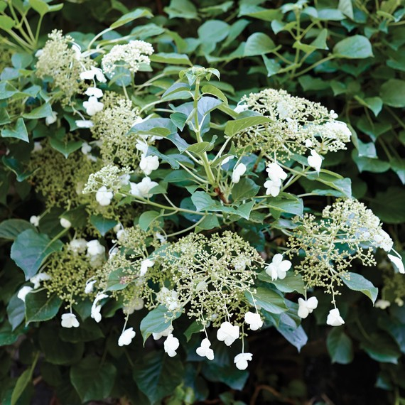 Full Shade Hydrangea The Secret Behind Martha's Gorgeous Climbing Hydrangeas