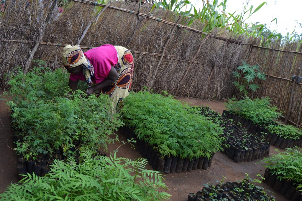 Planting Trees in Malawi for a Sustainable Future Millennium