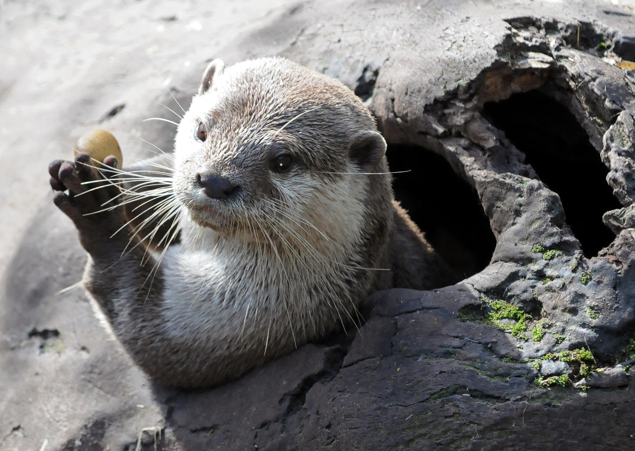 Pet Otter Australia These Insta Famous Otters Are Disappearing Quickly Nrdc