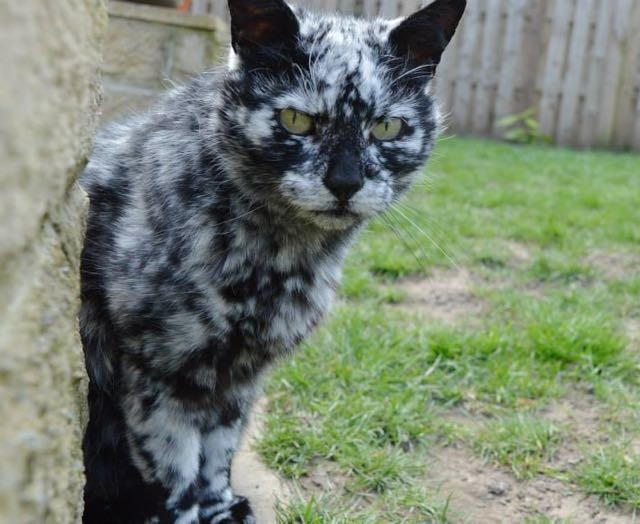 Scrappy Born A Black Cat Now Turning White Due To Vitiligo