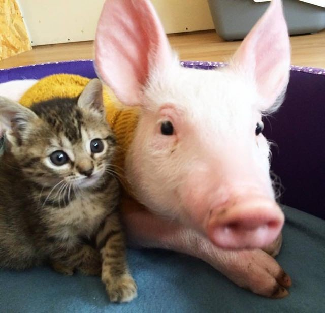 Cute Together Forever Wallpaper Orphaned Tabby Kitten And Rescue Pig Growing Up Together