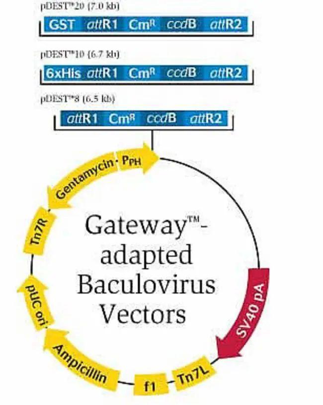 baculovirus vectors