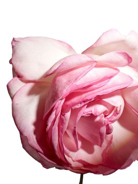 Rose - Photo by Henry Bourne   Yellowtrace