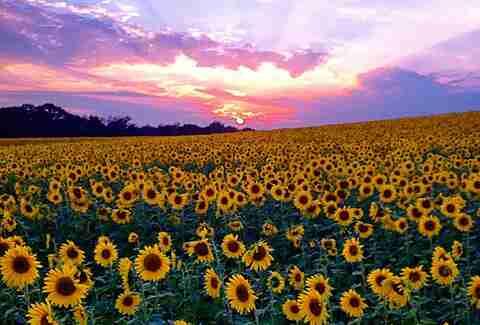 Fall Sunflower Desktop Wallpaper 16 Most Beautiful Places In Maryland Thrillist