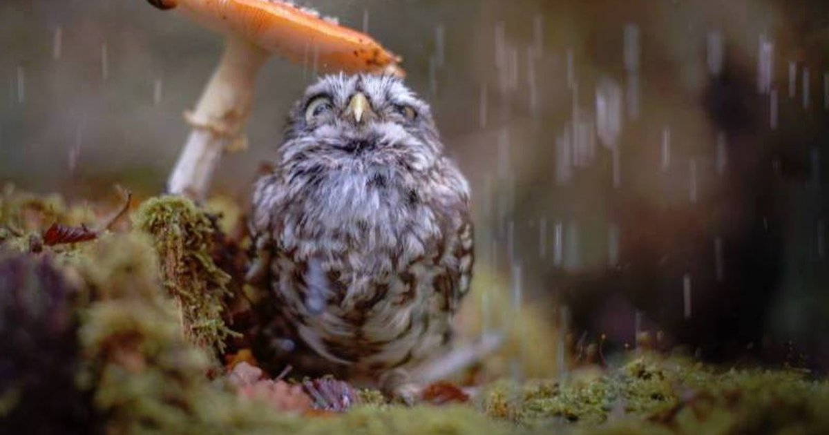 Animal Farm Wallpaper Tiny Owl Uses Tiny Mushroom As An Umbrella The Dodo