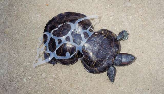 Turtle Cut Free From 6 Pack Rings Is Unstoppable 20 Years