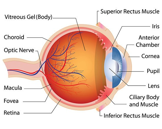 Associated Retina Consultants Diagram of the Eye Phoenix