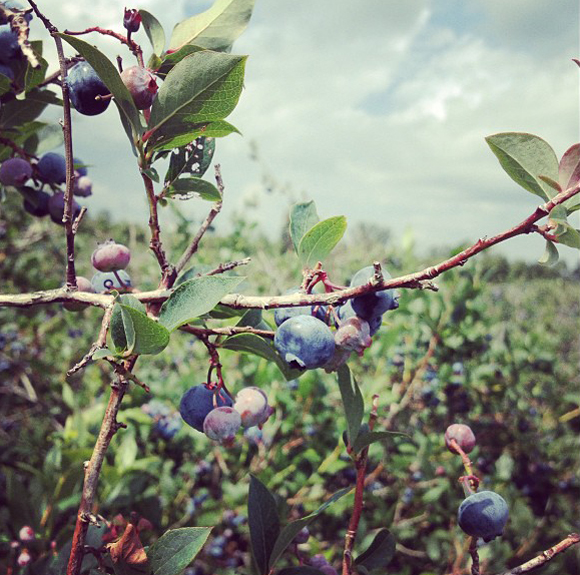 blueberrypicking