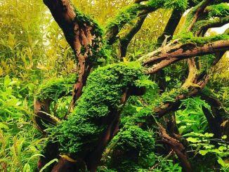 Cara meumbuhkan moss aquascape secara maksimal