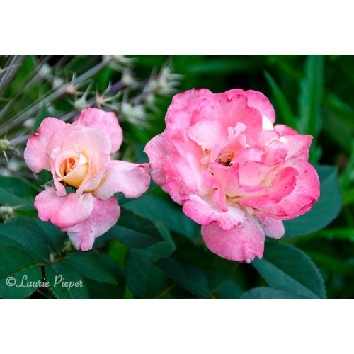 Medium Crop Of Fragrant Cloud Rose