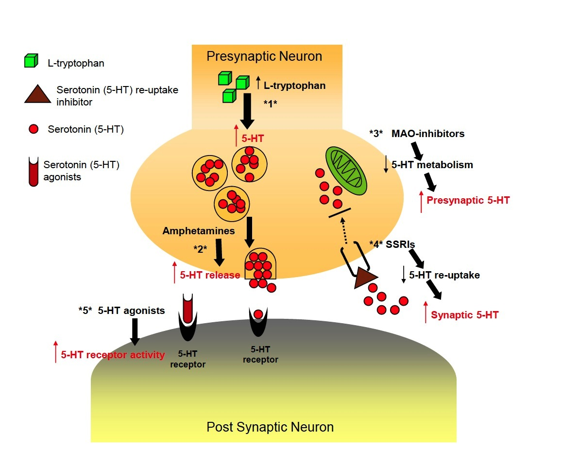 Tryptophan Serotonin Mechanism Of Action Of Serotonin Medications Pictures To