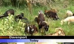 nahant-goat-news