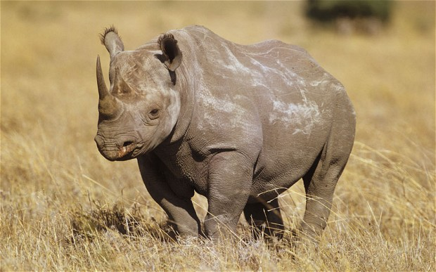 Baby Cute Animals Wallpaper Rhino Poaching In Zimbabwe Has More Than Doubled Since