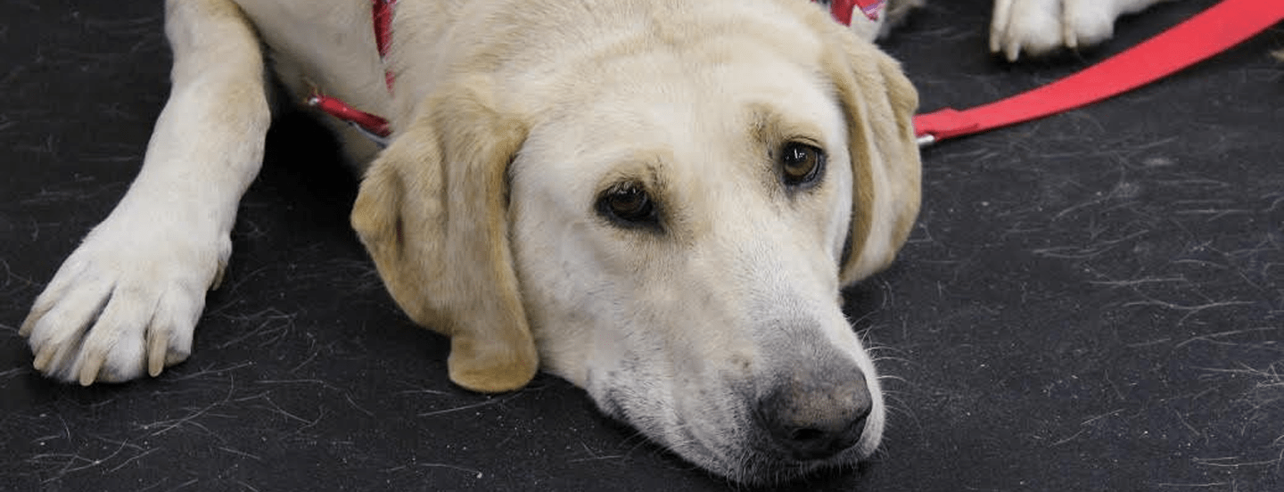 Yellow Lab Dogs For Sale Atlanta Lab Rescue