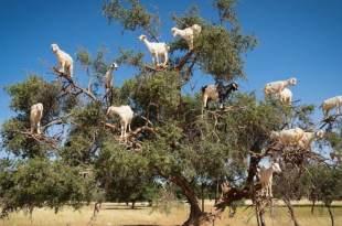 【摩洛哥】索維拉 貓在鋼琴上昏倒了!山羊在阿甘樹上吃飽了!