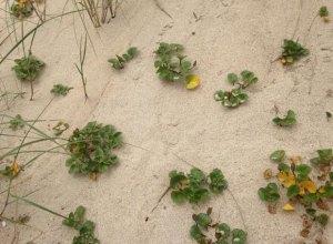 liseron des sables