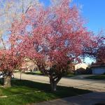 April 12th - The crabapple tree in bloom.
