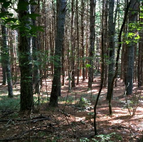 woods around sand hill trail
