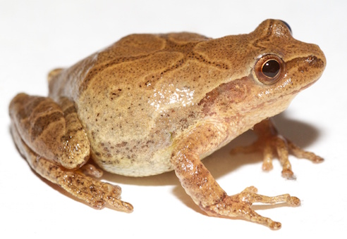 spring peeper, wikimedia commons image