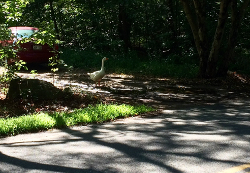 watch goose