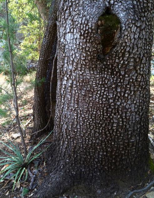 Alligator Juniper Juniperus deppeana