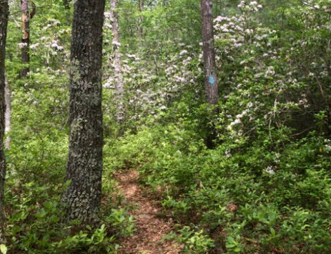 Through Laurel Thickets